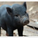 Porky, Kipu, and Gonzo were the impetus behind Hawaii's 2007 felony animal cruelty law